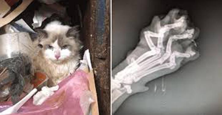 Gatto ferito con radiografia