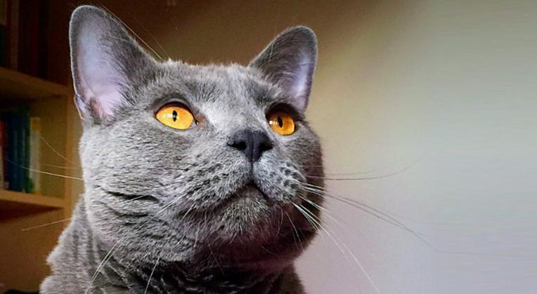 Gatto grigio che fissa