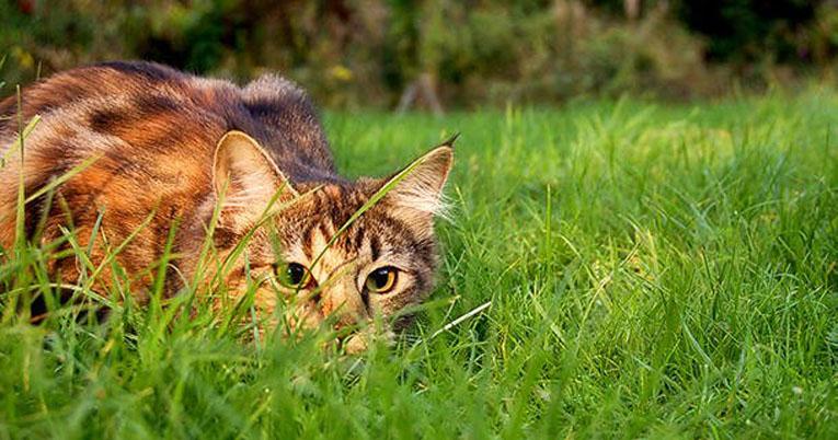 Gatto in giardino che punta una preda
