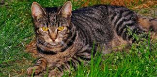 Gatto sdraiato nell'erba