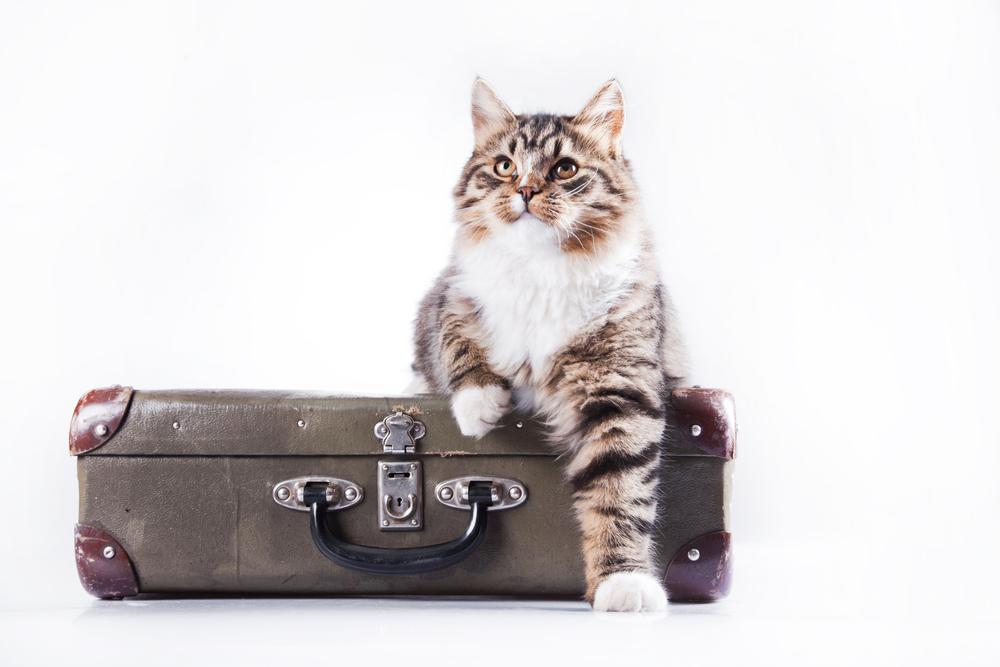 Gatto sopra una valigia