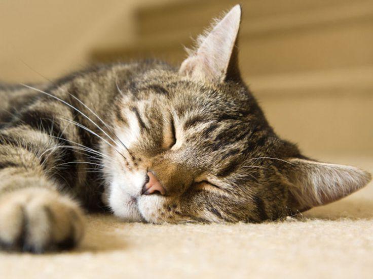 Gatto tigrato che dorme