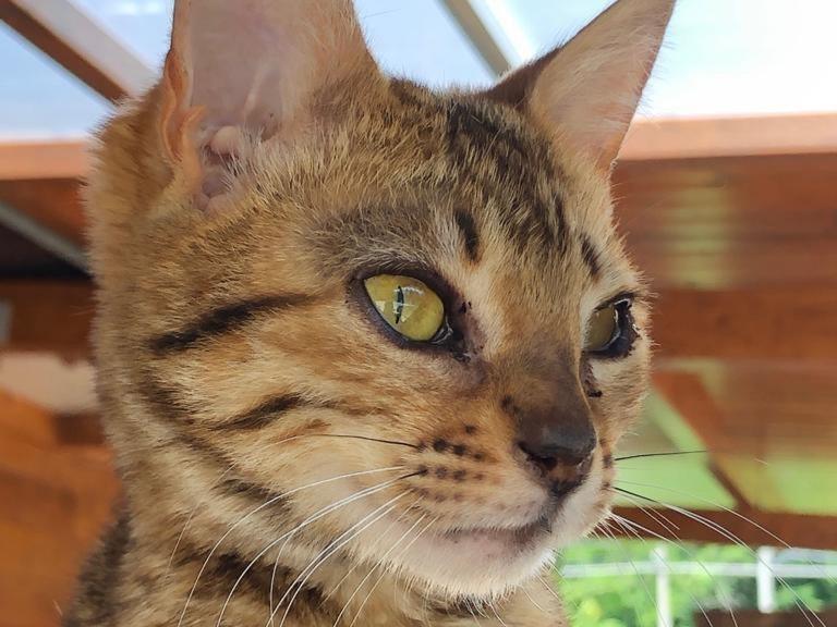 Gatto tigrato che osserva