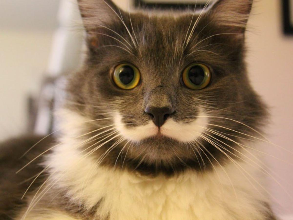 gatto-con-baffi-bianchi
