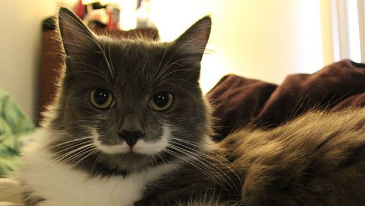gatto-bianco-e-grigio-con-baffi-particolari