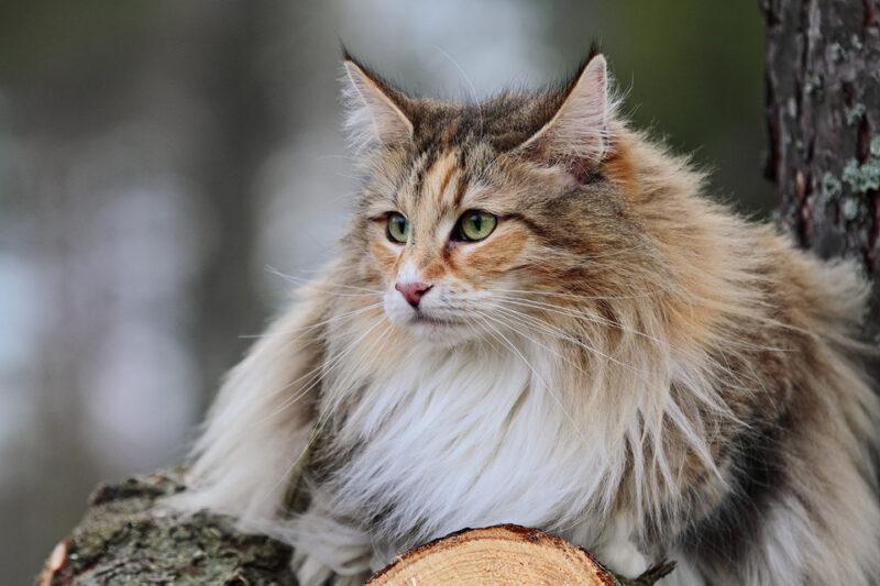 Gatto siberiano in casa o in appartamento
