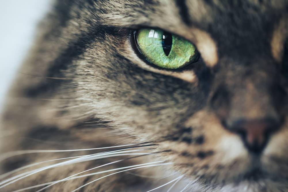 Occhio di un gatto