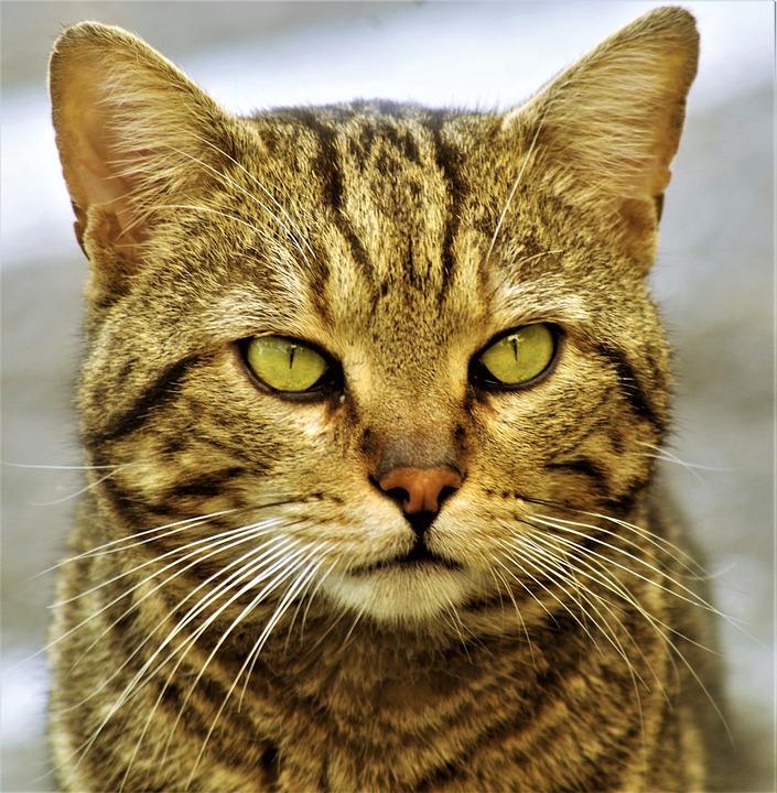 Primo piano di un gatto tigrato