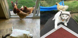 gatto-con-galline-e-polli