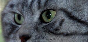 British Shorthair Silver Tabby immagini e caratteristiche