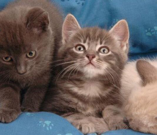 Tre cuccioli di gatto in una cuccia