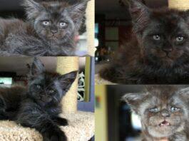 gatto-grigio-e-peloso