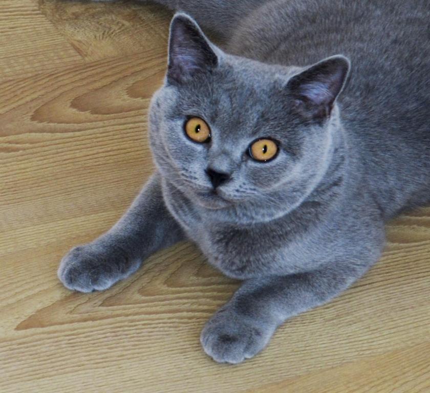 British Shorthair Blue immagini e caratteristiche