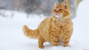 Persiano arancione: immagini e foto