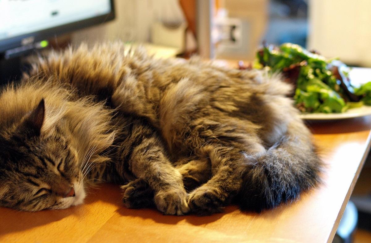 maine coon dorme vicino a cibo