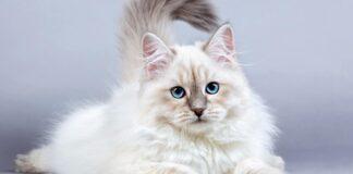 Crescita di un gatto siberiano
