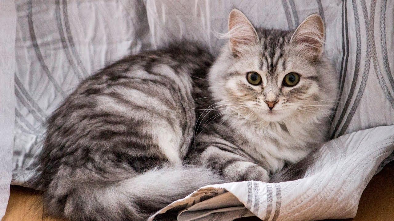 I colori del gatto siberiano
