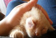 Disinfettare la ferita a un gatto: cosa fare