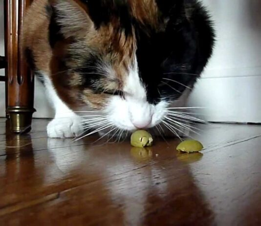 Le olive fanno male ai gatti