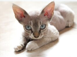 gattino devon rex