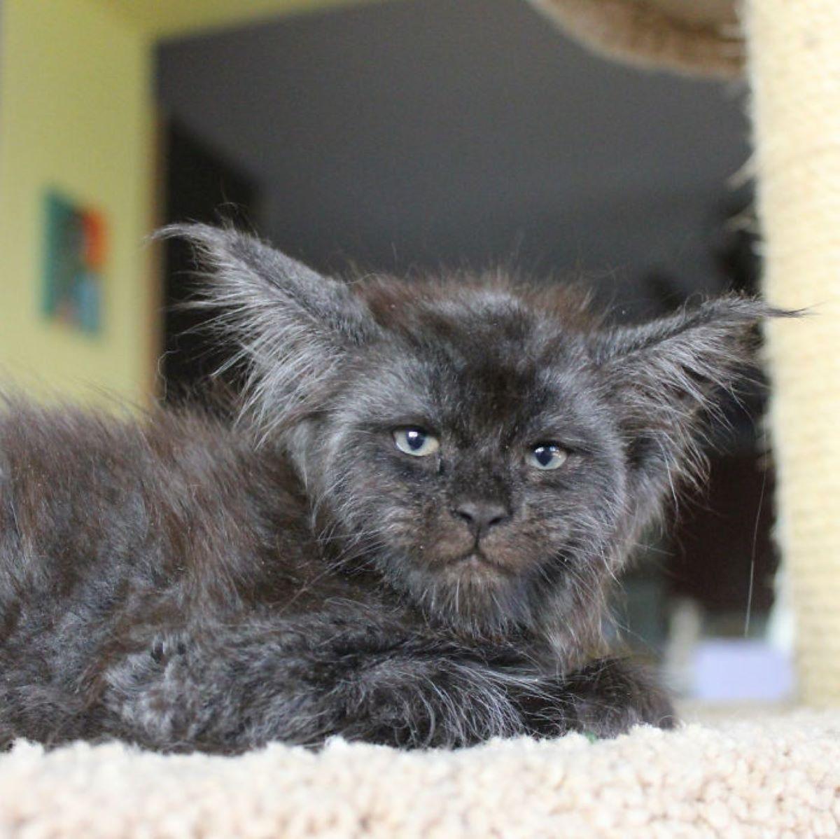 gatto-su-tiragraffi
