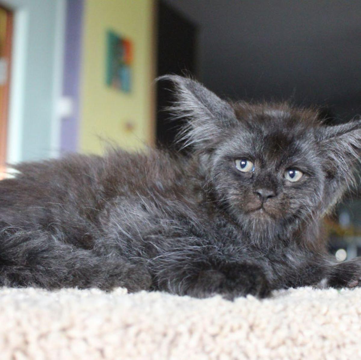 gato-con-barbetta
