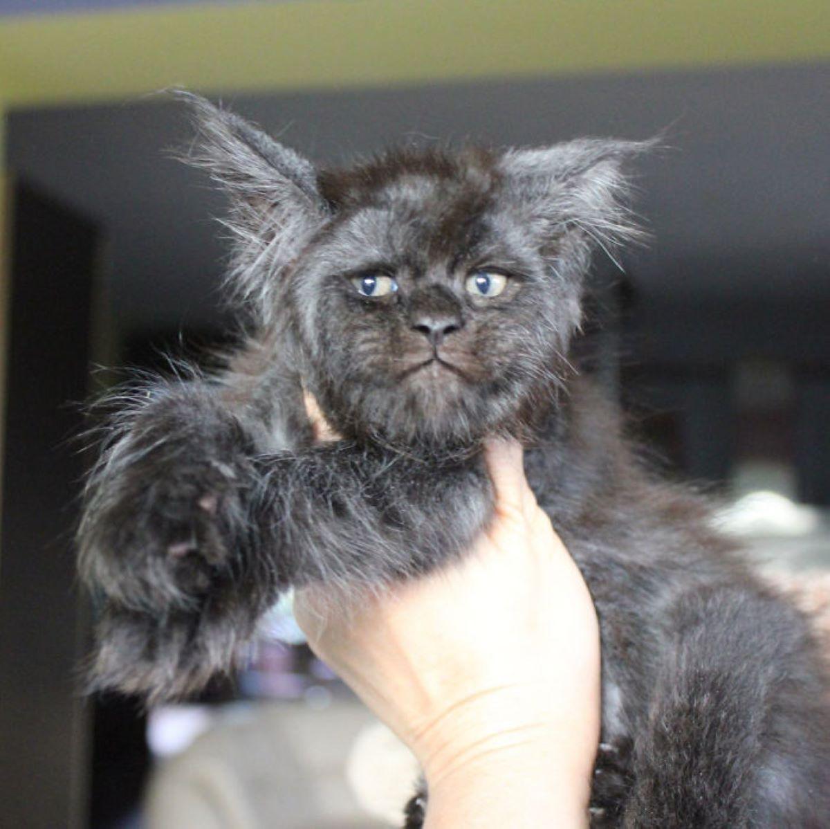 gatto-su-mano