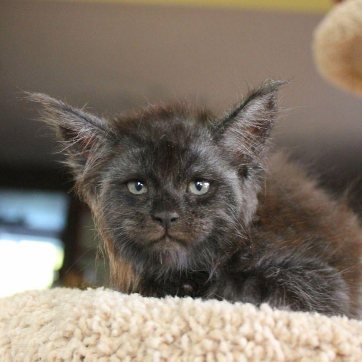 gatto-con-lunghe-orecchie