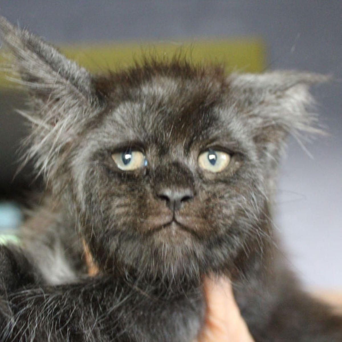 gatto-con-baffi