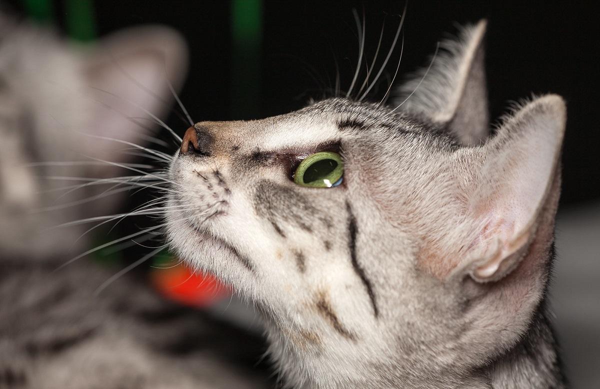 gatto egiziano guarda in alto