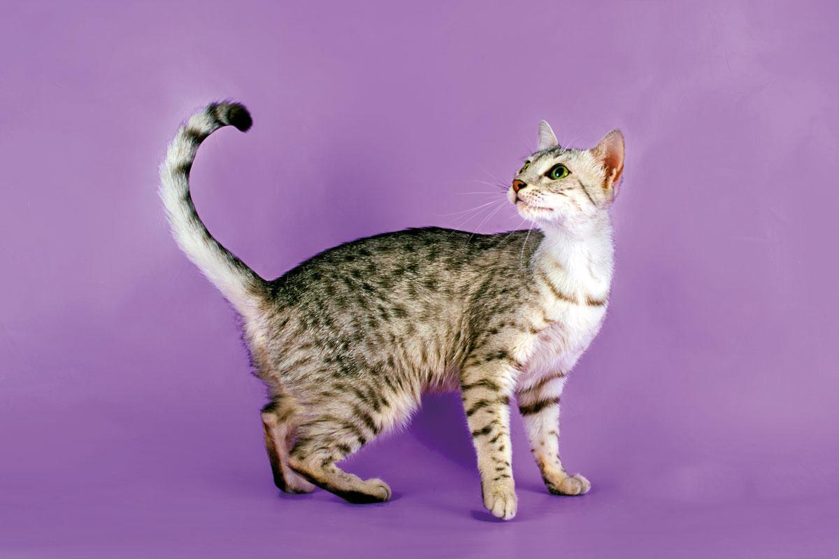 gatto egiziano su sfondo rosa