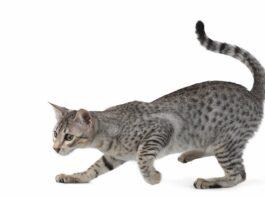 gatto egiziano su sfondo bianco