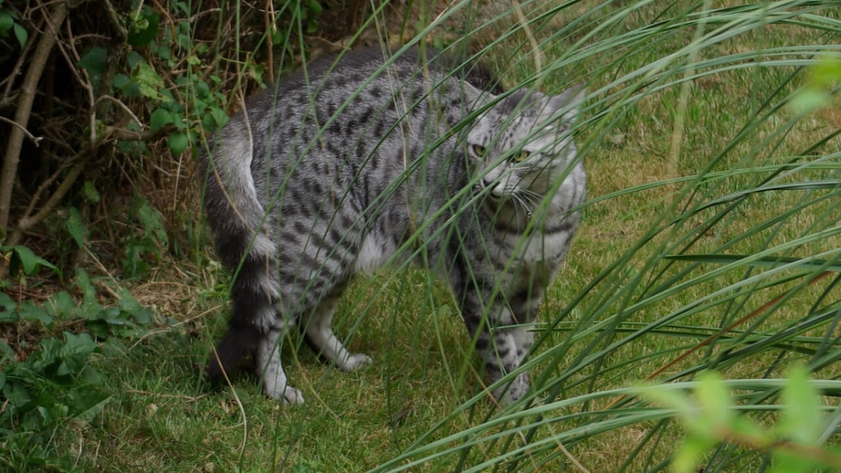 gatto mau in mezzo al verde