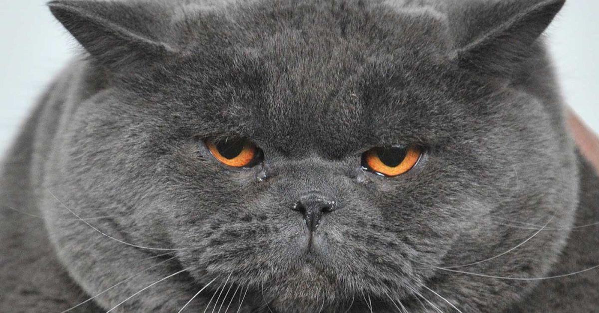 gatti-grigio