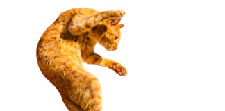 gatto in movimento su sfondo bianco