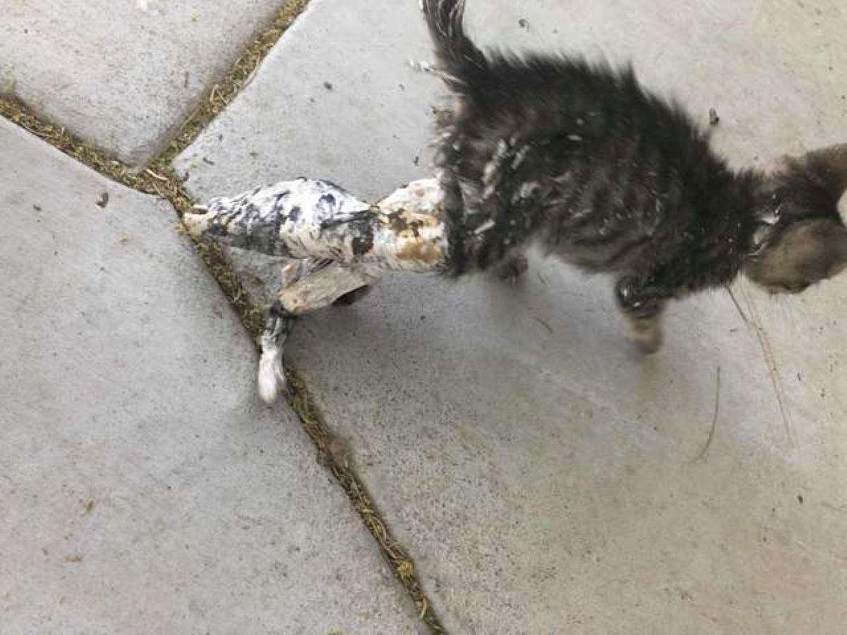 gattino-zampe-posteriori-fasciate