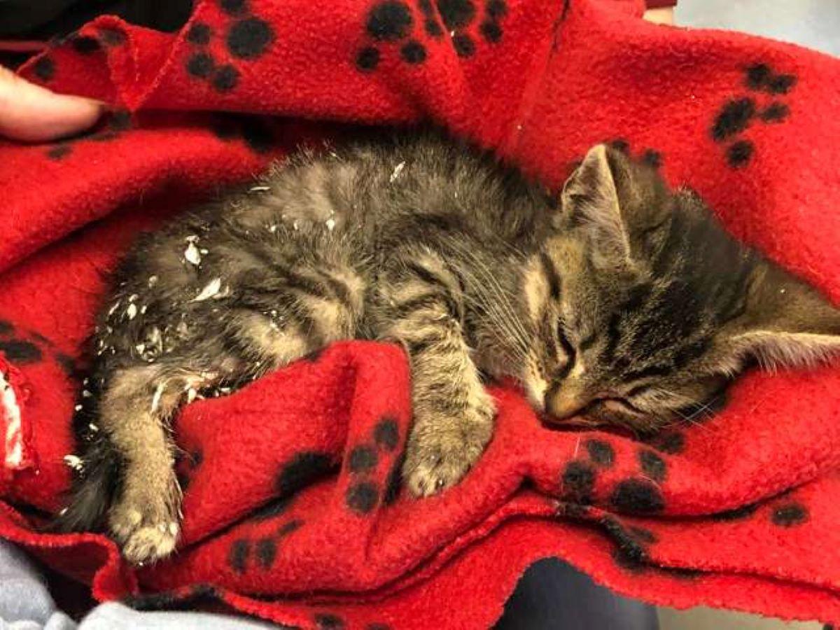gattino-con-coperta