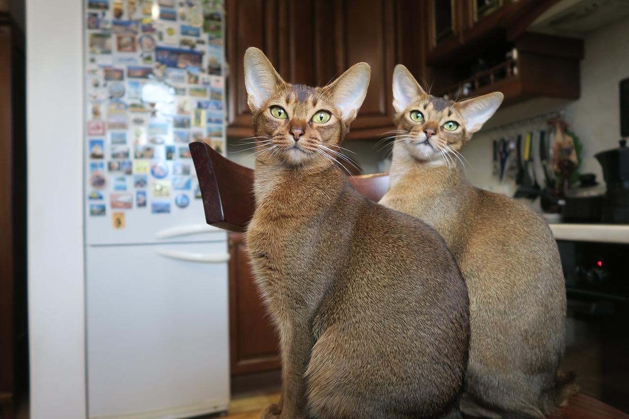 gattini di razza abissino di diversi colori