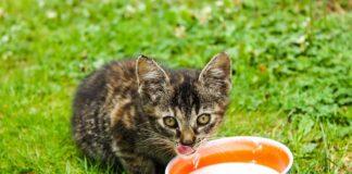 gattino si nutre da scodella di latte