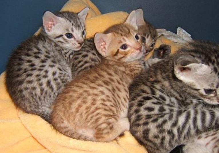 gattini ocicat