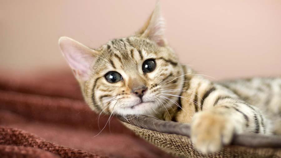 gattino american bobtail