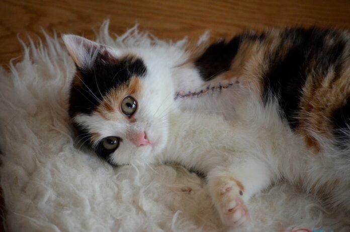 gattino operato con punti di sutura