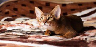 gatto abissino su coperta