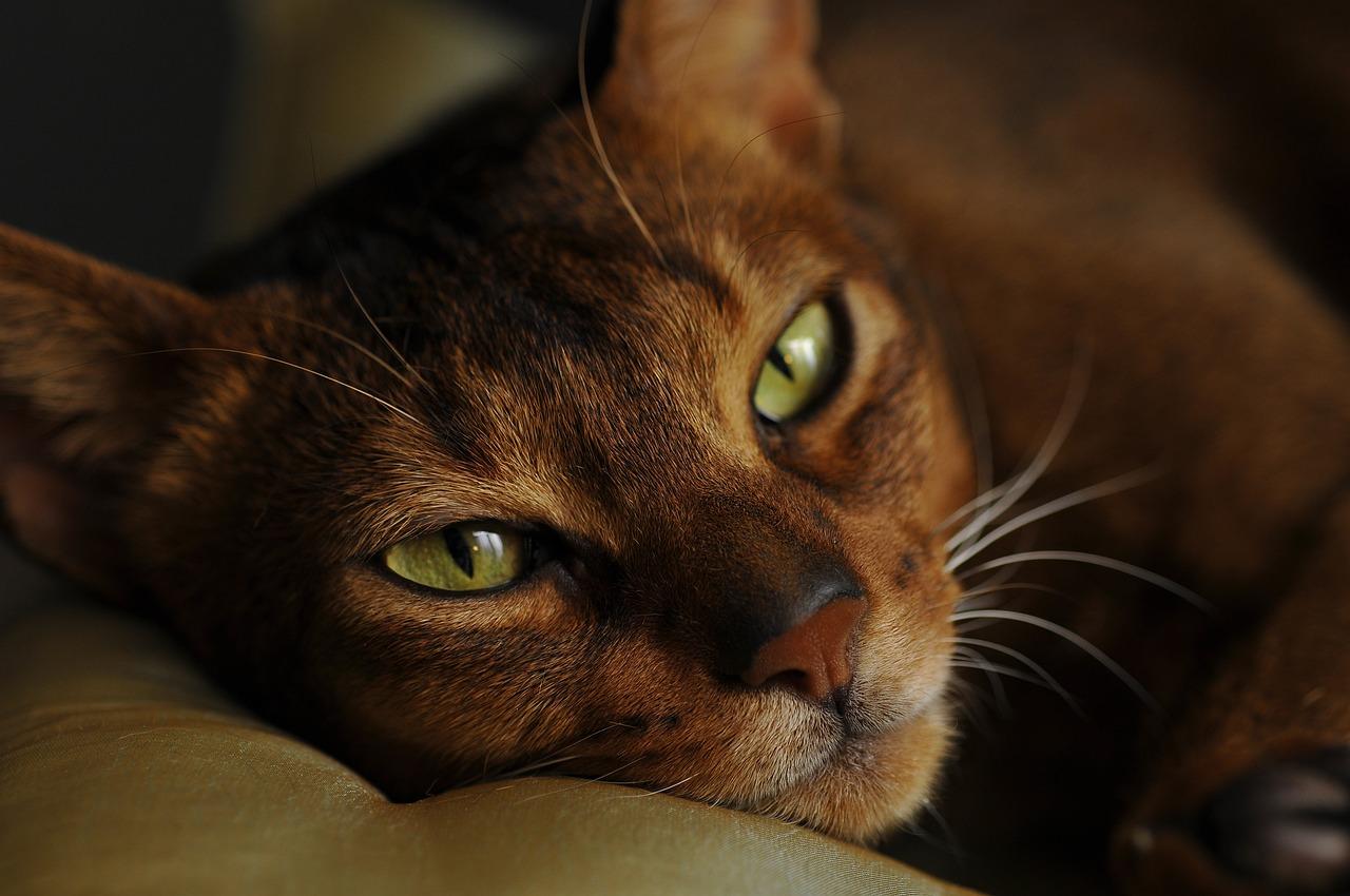 gatto abissino da vicino
