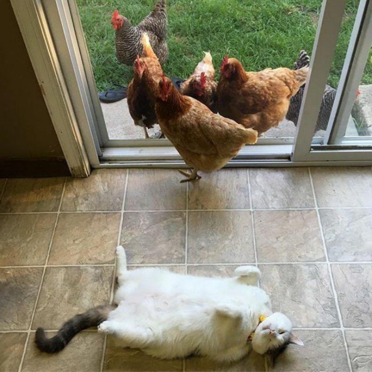 gatto-che-si-rotola-e-galline