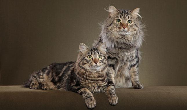 gatto bobtail americano a pelo corto e lungo