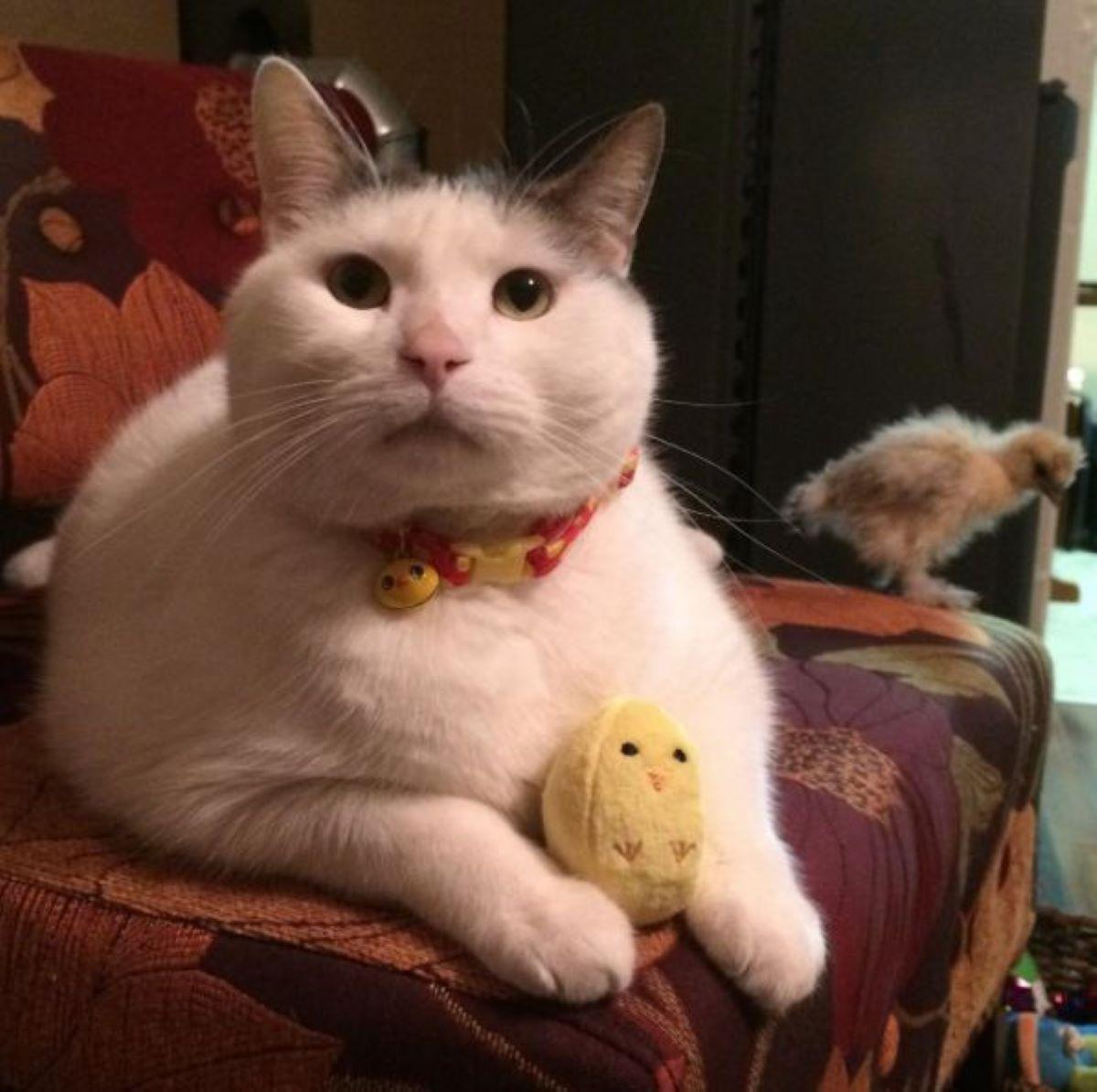 gatto-con-pulcino