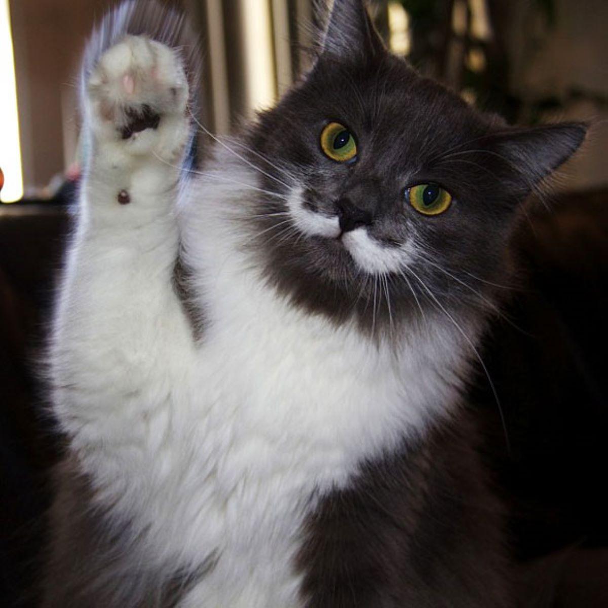 gatto-con-zampa-alzata