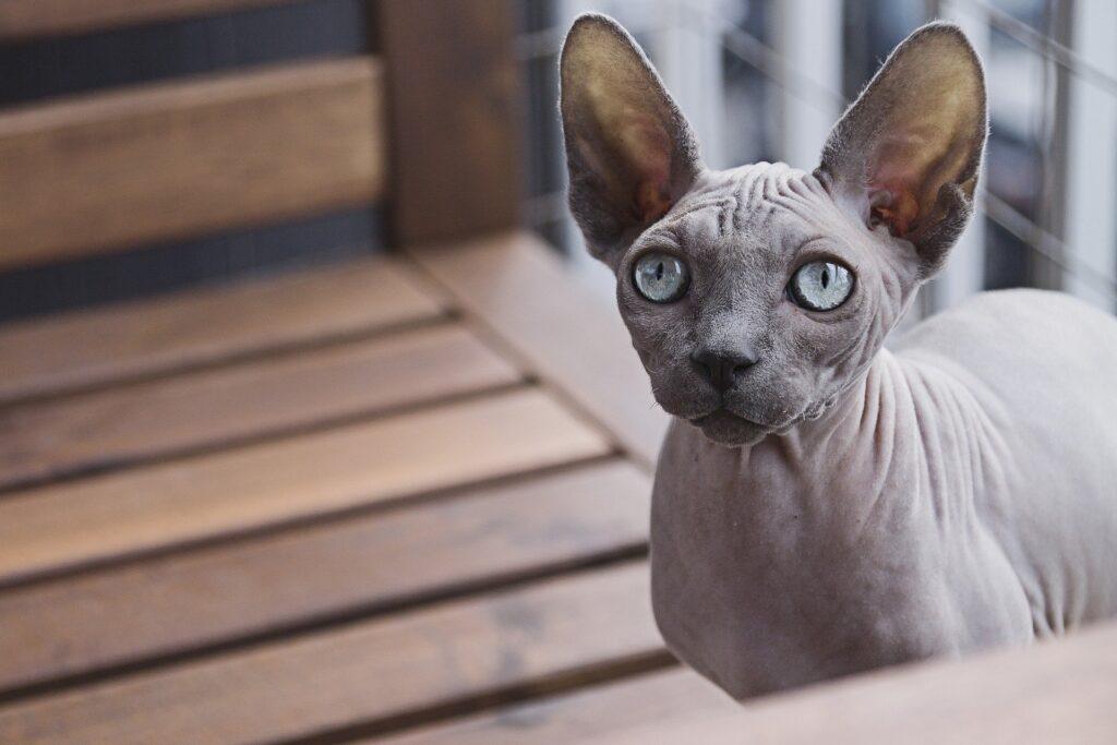 gatto egiziano egyptian mau