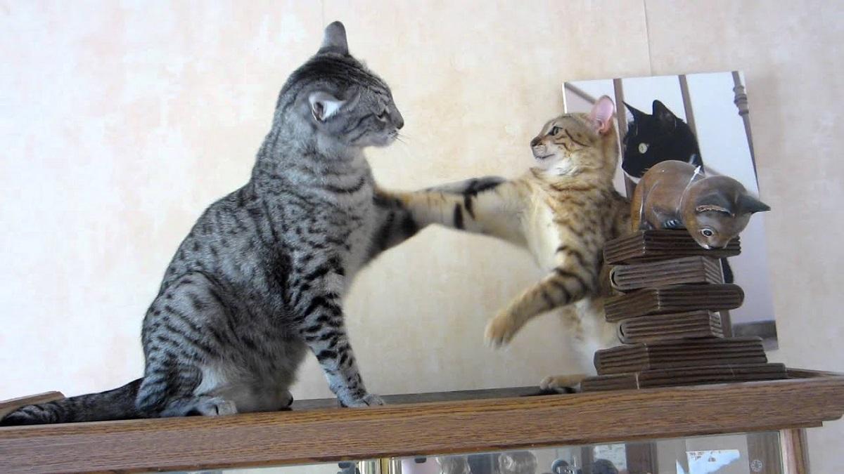 due gatti egiziani giocano